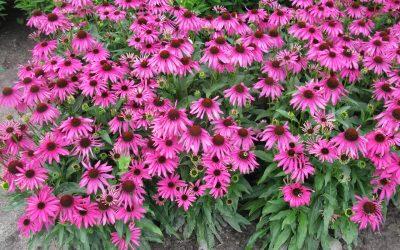 Echinacea Culture