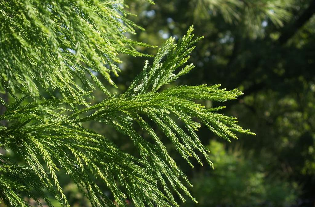 Cryptomeria Culture