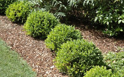 Buxus Culture