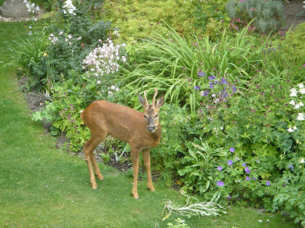 Deer Resistant Gardens – Deer Resistant Garden Plans