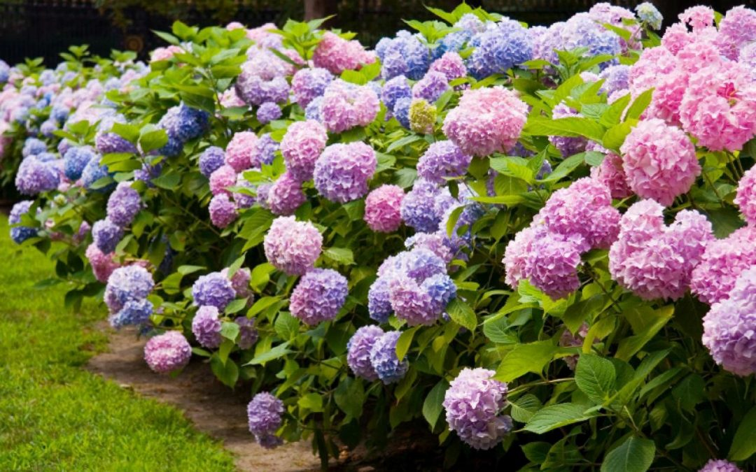 Hydrangea Care and Culture