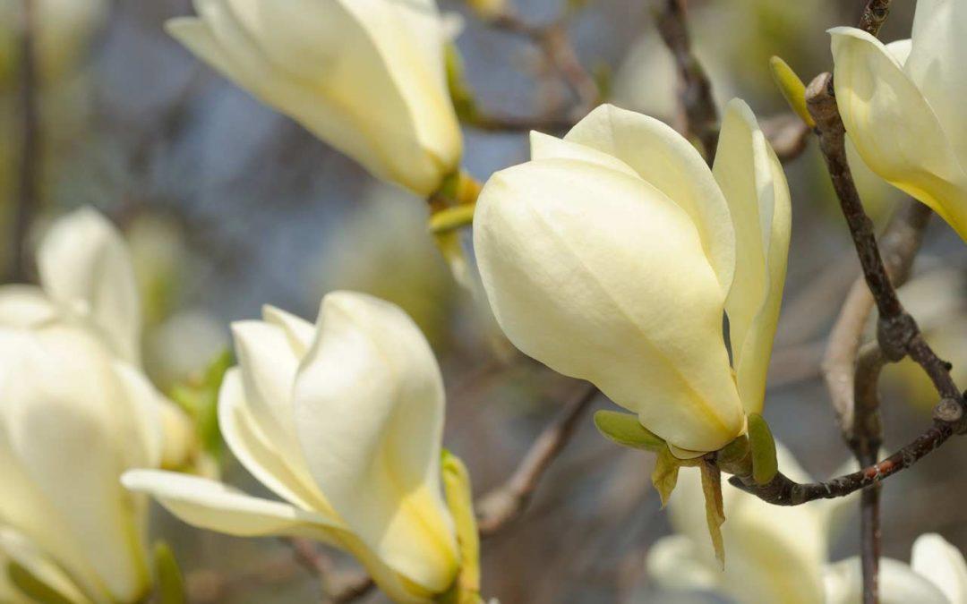 Magnolia Culture