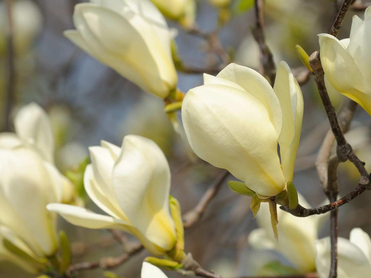 Magnolia culture mightylinksfo Gallery