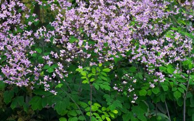 Thalictrum Culture