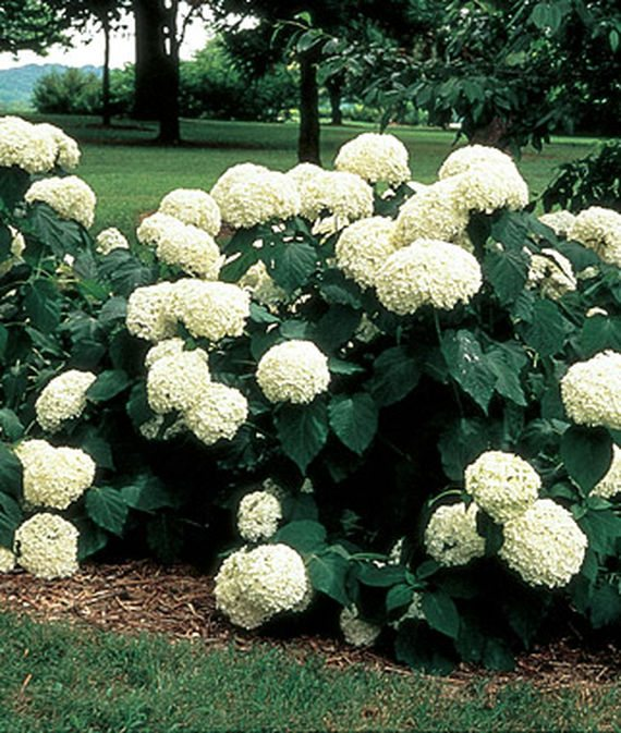 Native Hydrangeas