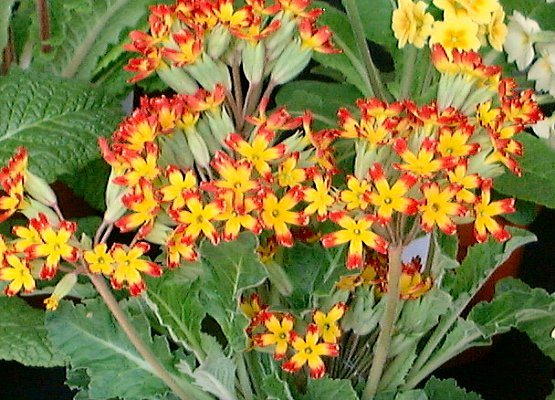 The Oak Leaf Primula