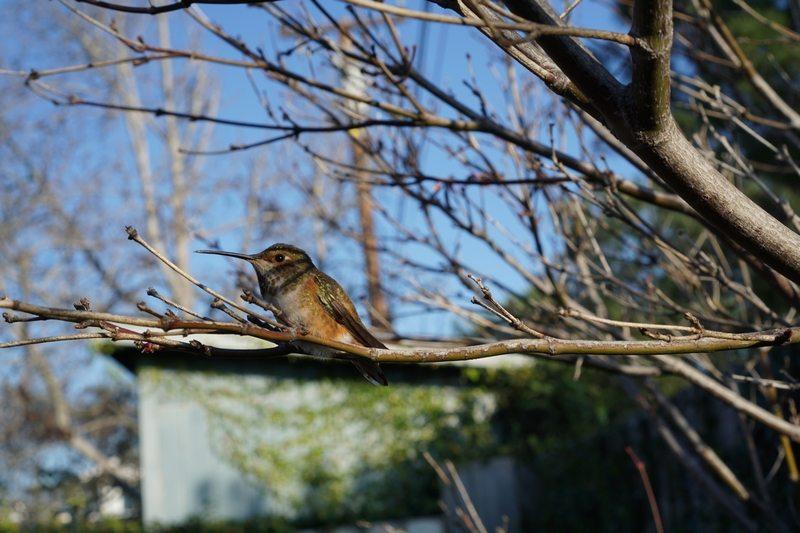 tn_hummingbird